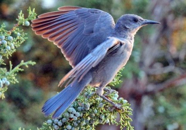 Pinyon jay decline has roots in pinyon-juniper removal